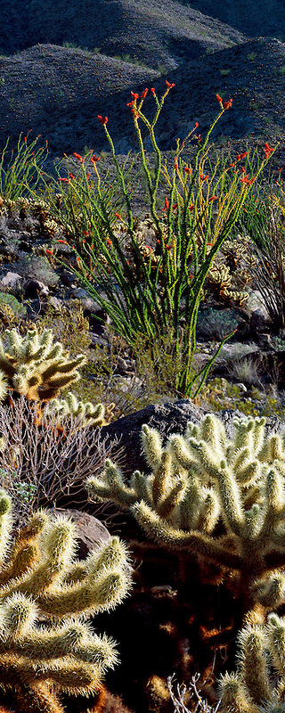 Teddy Bear Cholla and red Ocotillo. Anza Borrego Desert Stated Park, California