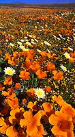 906500002 vertical panoramic of a field of high desert wildflowers california poppies eschscholtzia californica and desert dandelion malacothrix glabrata near the lancaster poppy preserve antelope valley california
