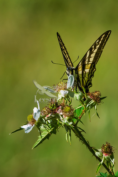 Western Tiger Swallowtail Butterfly (Papilio rutulus).  Pacific Northwest.  Summer.  Nectaring on Himalayan blackberry.