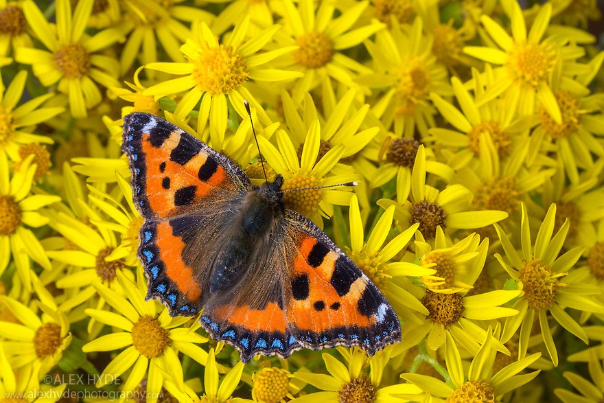 Small Tortoiseshell butterfly {Aglais urticae}  feeding on Common Ragwort {Senecio jacobaea}. Peak District National Park, Derbyshire, UK. August.