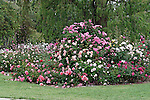 BED OF ENGLISH ROSES BRED BY DAVID AUSTIN