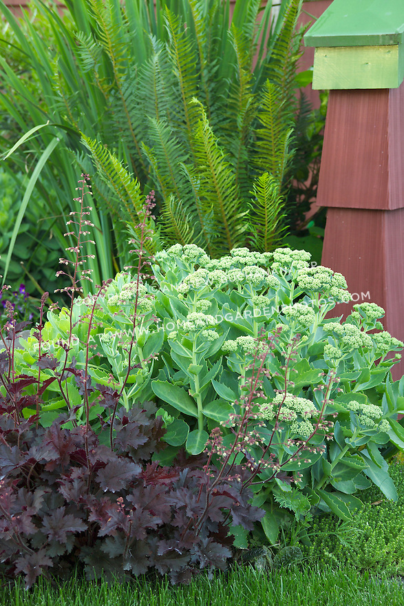 a detail of a beautifully-matched color and foliage combination in this residential garden, featuring a deep red, almost black, leafed heuchera, a vibrant chartreuse green sedum, and rich green sword fern behind with a rusty red shingle wall thrown in for added color.