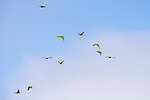 San Diego, California; a flock of red-masked conure parrots flying in early morning sunlight against a blue, cloudy sky