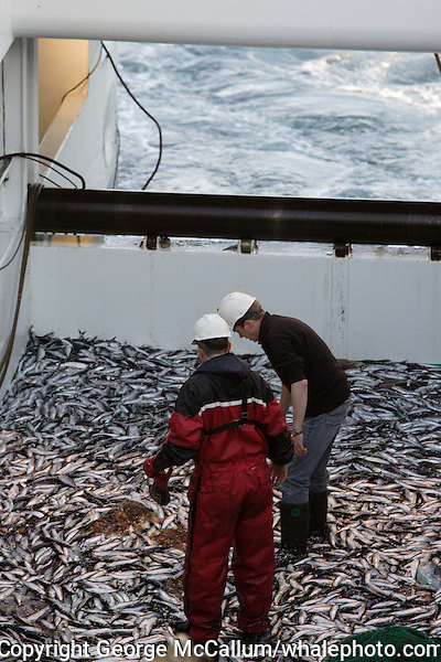 Researcher and deckhand inspecting pelagic trawl catch on trawl deck. Barents sea, Arctic Norway