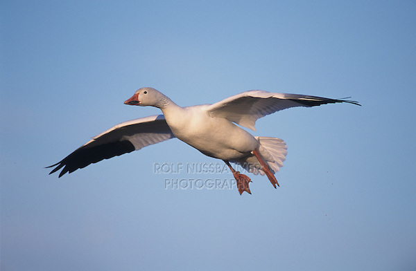 Snow Goose, Chen caerulescens,adult in flight, Bosque del Apache National Wildlife Refuge , New Mexico, USA, December 2003
