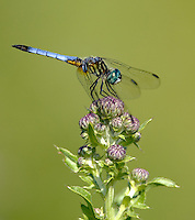Blue Dasher (Pachydiplax longipennis) Dragonfly - Male, Wallkill National Wildlife Refuge, Sussex, Sussex County, New Jersey
