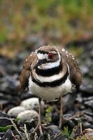 Killdeer protecting her nest in Multnomah County, Oregon