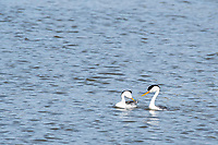A pair of Clark's Grebes, Aechmophorus clarkii, performs a mating dance on Upper Klamath Lake, OregonUpper Klamath Lake, Oregon