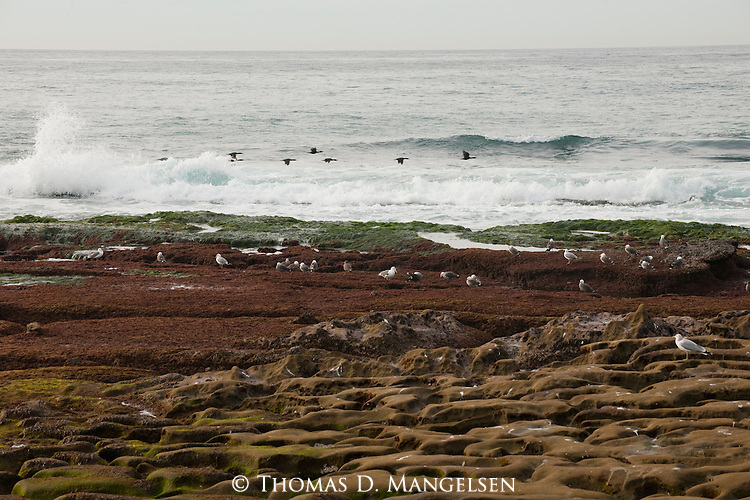 Gulls stand on the shore while cormorants fly above the surf in La Jolla, California