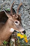 Whitetail Deer buck foraging on leaves during fall medium shot, vertical.