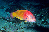 Red naped wrasse , Pseudolabrus eoethinius, male, Breeding color, Izu ocean park, Sagami bay, Izu peninsula, Shizuoka, Japan, Pacific Ocean