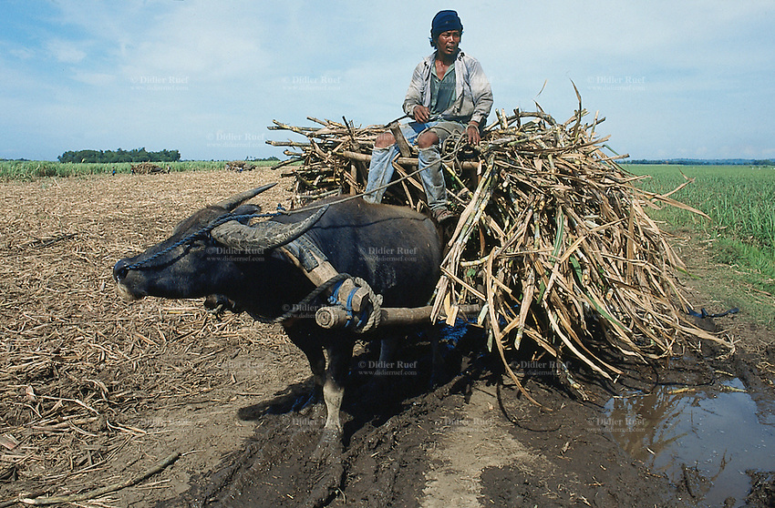 Philippines. Negros Island. Province of Negros Occidental, located in the  Western Visayas region. Barangay (village) Moises Padilla. Sugar cane fields.  A farmer is riding a cart pulled by a buffalo and heavily loaded with harvested sugar canes.  © 1999 Didier Ruef