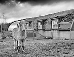 Icelandic pony in front of sod roofed barn