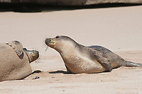 Hawaiian monk seals, Neomonachus schauinslandi, Critically Endangered endemic species, interaction between adult (left) and juvenile (right) on beach at west end of Molokai, USA, Pacific Ocean