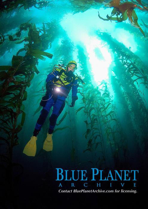 scuba diver descending into kelp, Macrocystis pyrifera, Anacapa Island, California, USA, Pacific Ocean, MR