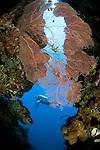 Sea fan in a cave and diver, Subergorgia sp., Menjangan Island National Park, Pemuteran, Bali, Indonesia, Pacific Ocean, No MR