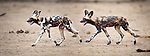 Adult Painted Hunting Dogs or African Wild Dogs (Lycaon pictus) near the Luangwa River. South Luangwa National Park, Zambia.
