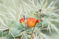 Desert Globemallow or Apricot Mallow (Sphaeralcea ambigua) growing beside cholla cactus.  Arizona desert.  Feb-March.