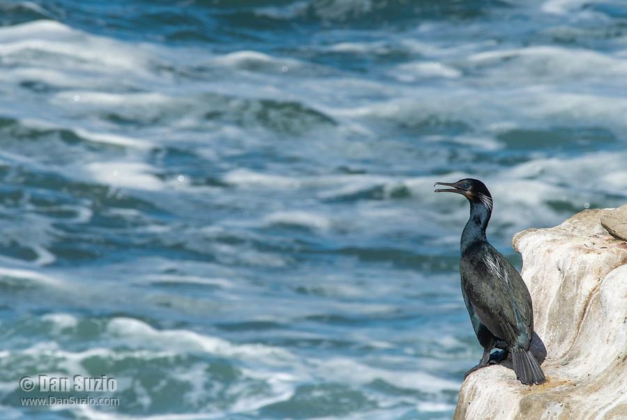 Brandt's Cormorant, Phalacrocorax penicillatus, on the Pacific Coast in Sonoma County, California
