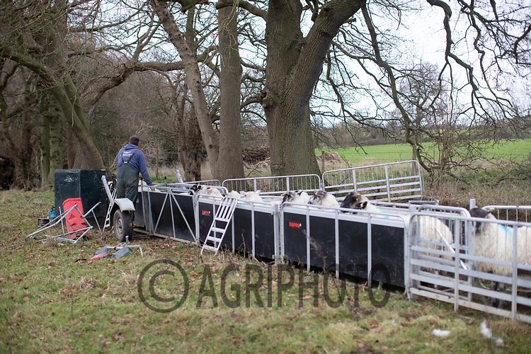 18/12/2020 Pregnancy scanning ewes<br /> ©Tim Scrivener Photographer 07850 303986<br />      ....Covering Agriculture In The UK....