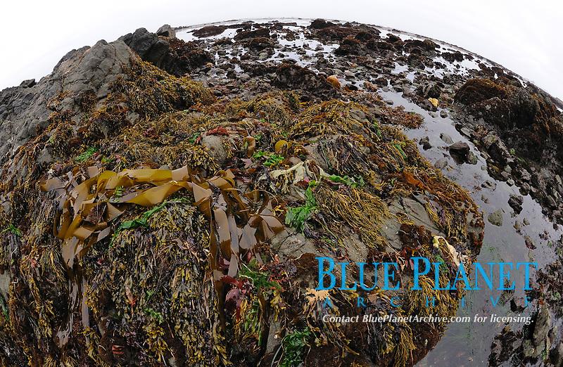 Various kelps at low tide exposed on rocks, rocky beach, San Simeon, California, Pacific Ocean