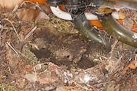 Rotkehlchen, Nest in einem Sicherungskasten, Küken im Nest, Erithacus rubecula, robin