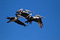 BROWN PELICANS (Pelecanus Occidentalis) an endangered species in flight over ELKHORN SLOUGH - MOSS LANDING, CALIFORNIA