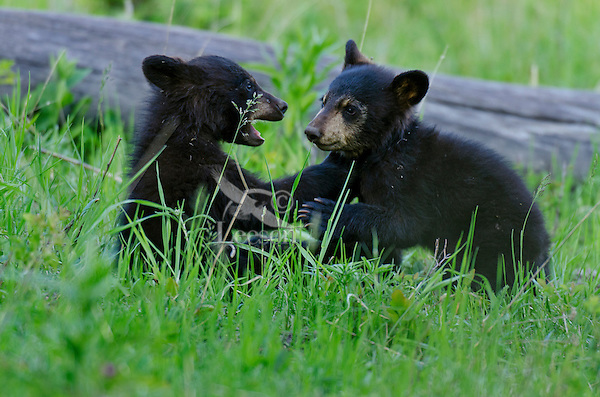 """Wild Black Bear (Ursus americanus) cubs playing.  Western U.S., spring. (These are what are known as """"coys""""--cubs of the year.)"""