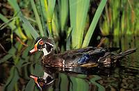 Wood Duck drake in summer feather molt.. British Columbia, Canada..(Aix sponsa).