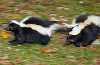 Striped Skunks (Mephitis mephitis) running, fall, Nova Scotia, Canada. Additional blur added to image in processing.