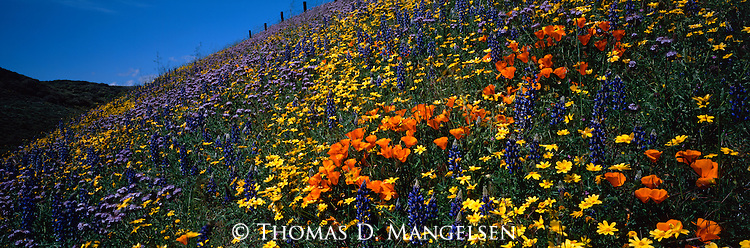 California Poppy and other wildflowers in the Tehachapi Mountains of California.