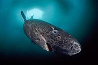 Greenland shark under ice, Somniosus microcephalus, Lancaster Sound, Nunavut, northern Baffin Island, Canada, Arctic