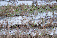 11/12/2020 Standing water on a stubble field in Lincolnshire <br /> ©Tim Scrivener Photographer 07850 303986<br />      ....Covering Agriculture In The UK....