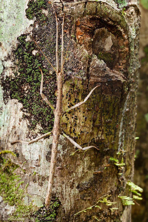 Stick Insect {Phasmid} in rainforest  camouflaged tree trunk. Andasibe-Mantadia NP, Madagascar.