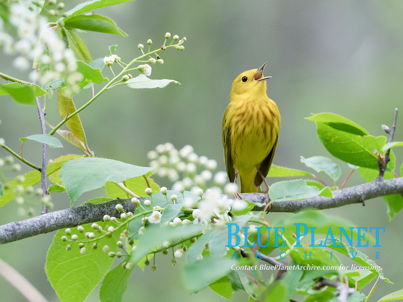 yellow warbler or American yellow warbler, Setophaga petchia, singing in spring in a blossoming tree, Nova Scotia, Canada