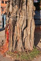 Nepal, Kathmandu.  String Tied Around a Banyan Tree in Hope of Good Fortune.