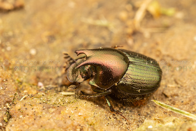 A male Dung Beetle (Onthophagus orpheus) forages on a rock.