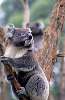 Koala Bear, Victoria, Australia