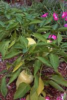 Sweet Pepper 'Sun Bell' Yellow elongated bell pepper