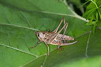 Warzenbeißer, Warzenbeisser, Weibchen, Decticus verrucivorus, wart-biter, wart-biter bushcricket, female, Le dectique verrucivore, Decticus verrucivorus, le sauterelle à sabre, Tettigoniidae