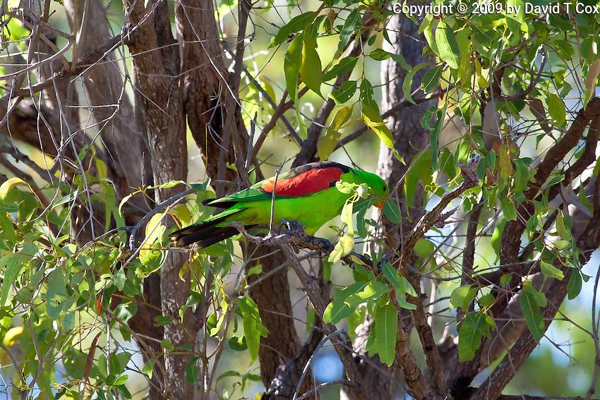 Red-winged Parrot, near Paluma NP, Queensland, Australia