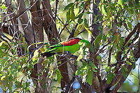 Red-winged Parrot, near Paluma NP, Queensland, Australia