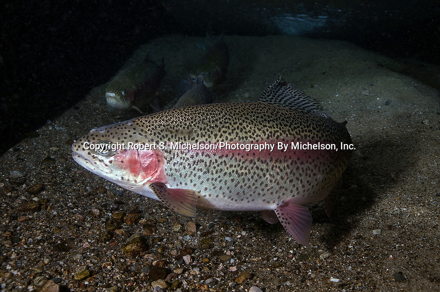 Rainbow Trout 45 degrees to camera facing left on gravel bottom