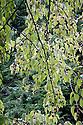 Handkerchief tree (Davida involucrata), mid October.