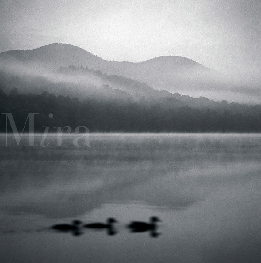 Ducks on a misty pond.