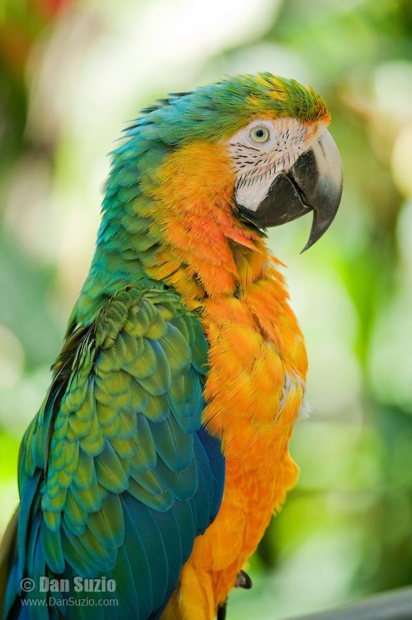 Hybrid macaw, Ara sp. Captive at Zoo Ave, a zoo near San Jose, Costa Rica, specializing in native birds.
