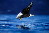 A Bald eagle (Haliaeetus leucocephalus) in flight over water.