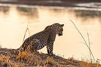 Africa, Zambia, South Luangwa National Park, leopard in alert