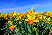 Daffodils in full flower - Lincolnshire, April