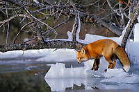 Red fox (Vulpes vulpes) along edge of frozen lake, November.